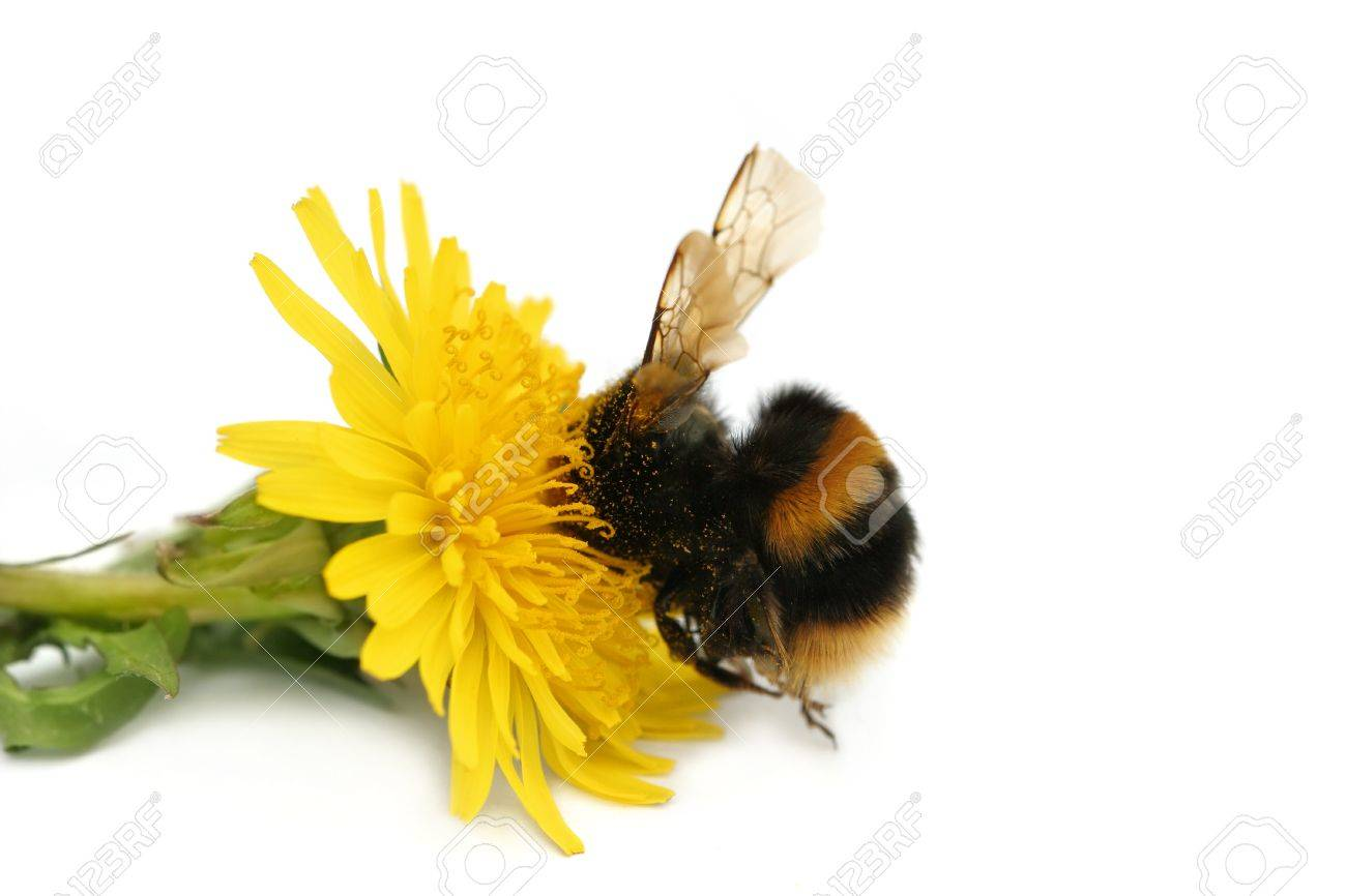 Bumble bee with its head buried in a dandelion flower, covered in pollen, against a white background. Stock Photo - 1577022