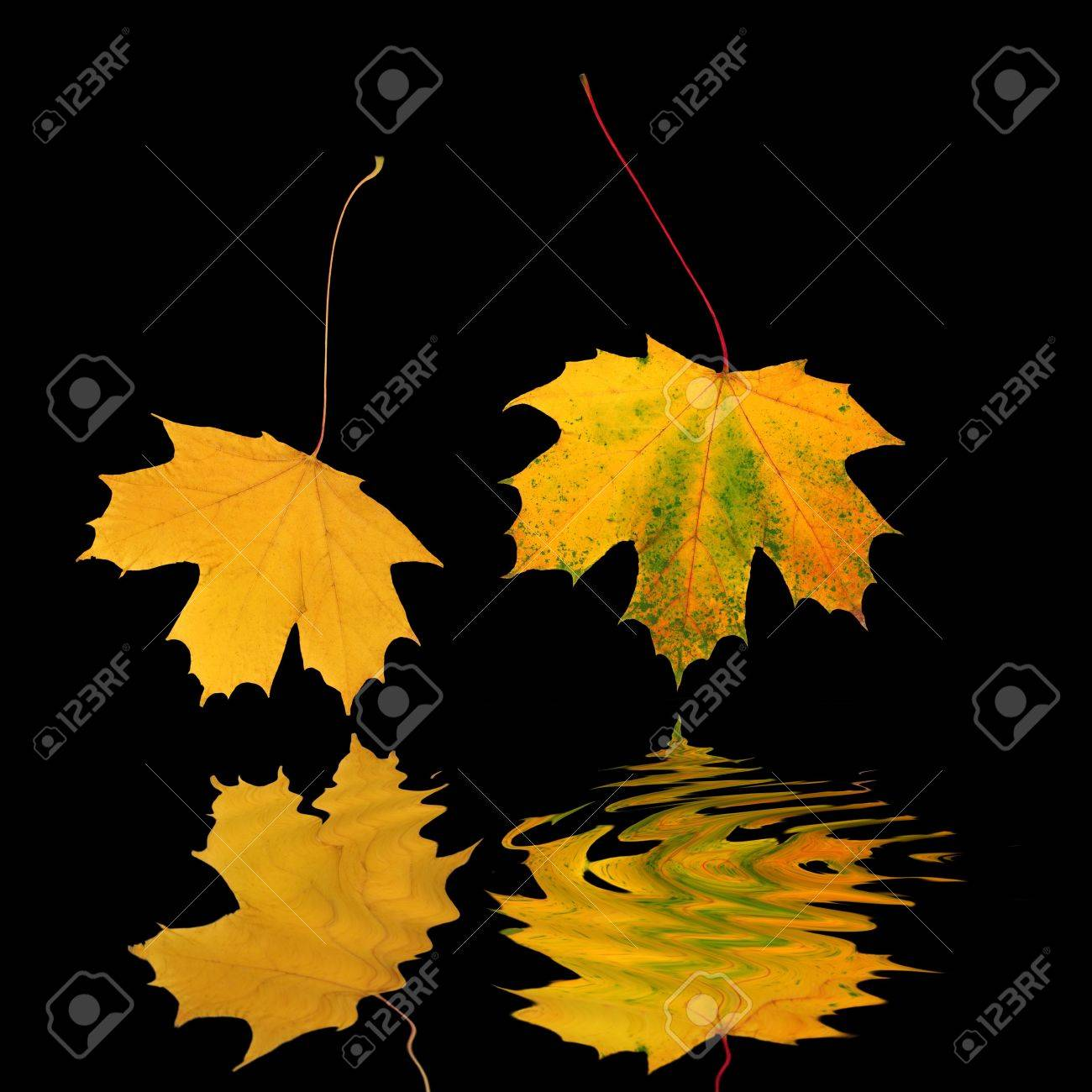 Abstract of two golden maple leaves in autumn, reflected over water and set against a black background. Stock Photo - 2585581