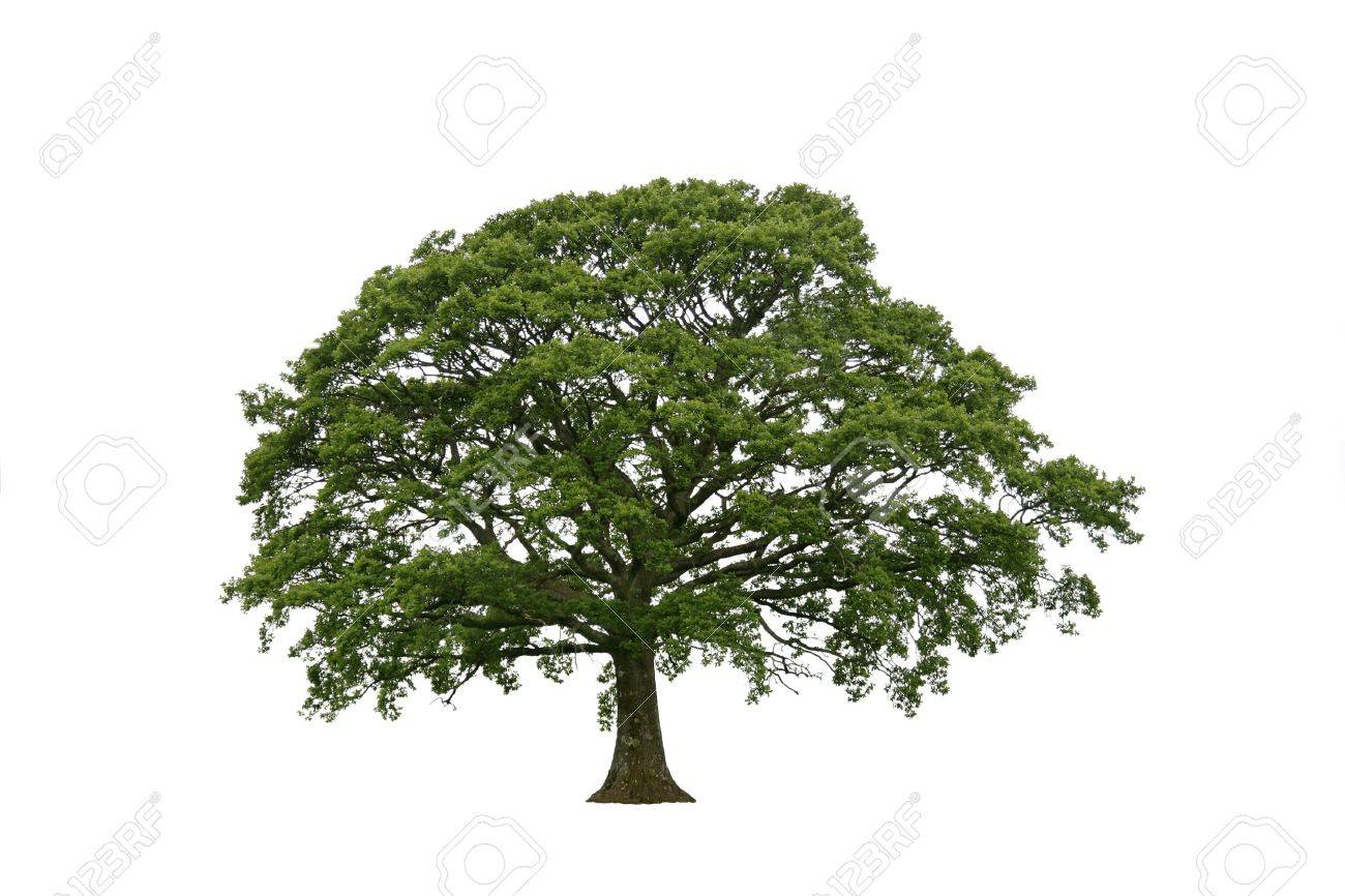 Oak tree in late spring with new leaf growth, over white. Stock Photo - 2807958