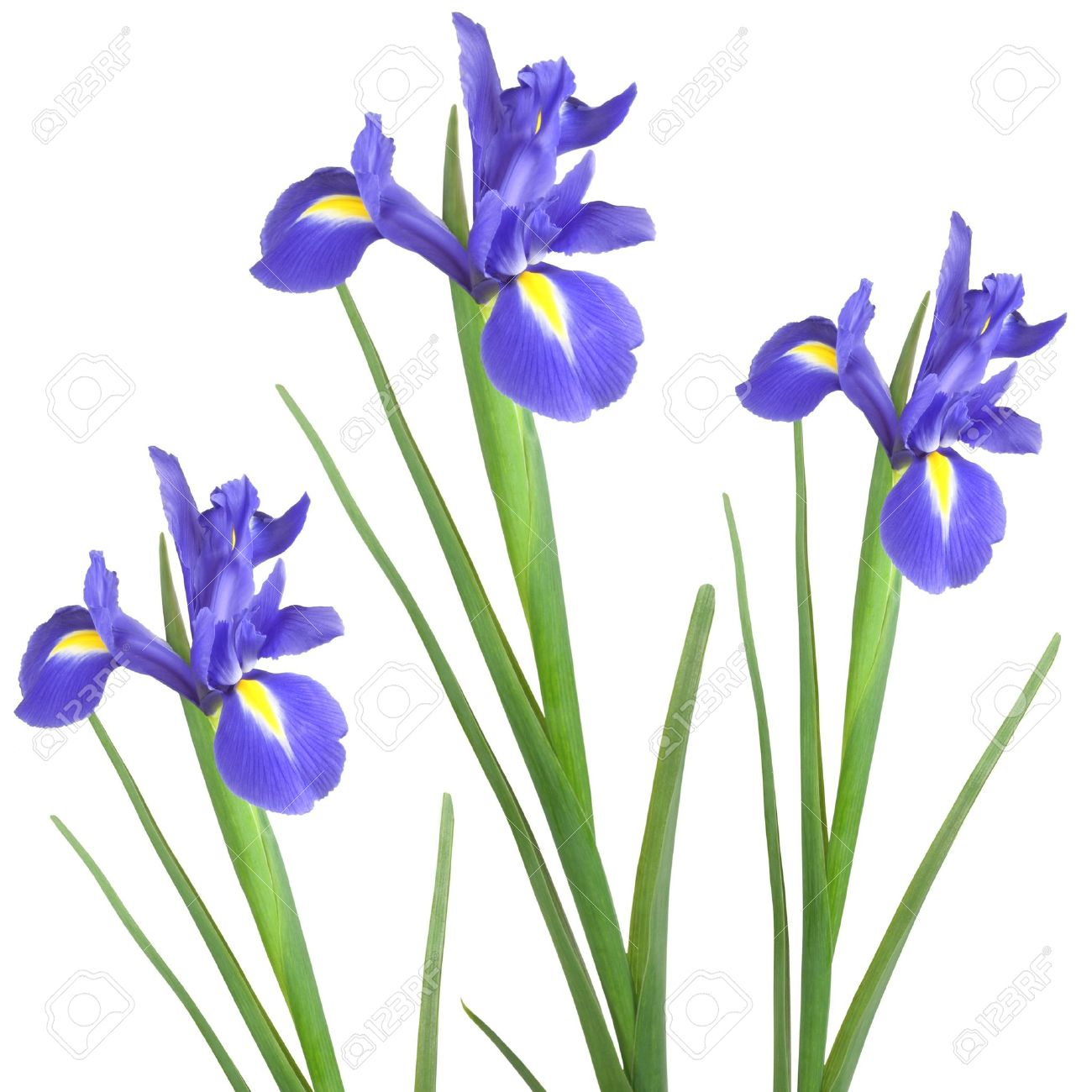 iris flower images  stock pictures. royalty free iris flower, Natural flower