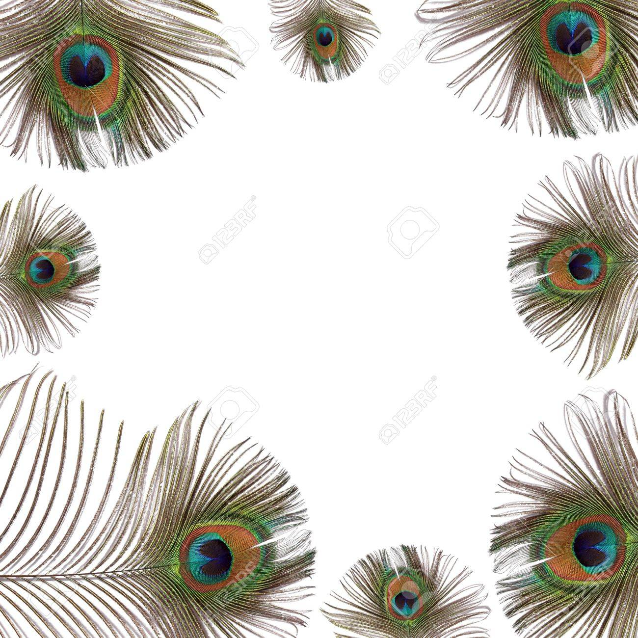 iridescent eyes of peacock feathers creating a frame over white background stock photo