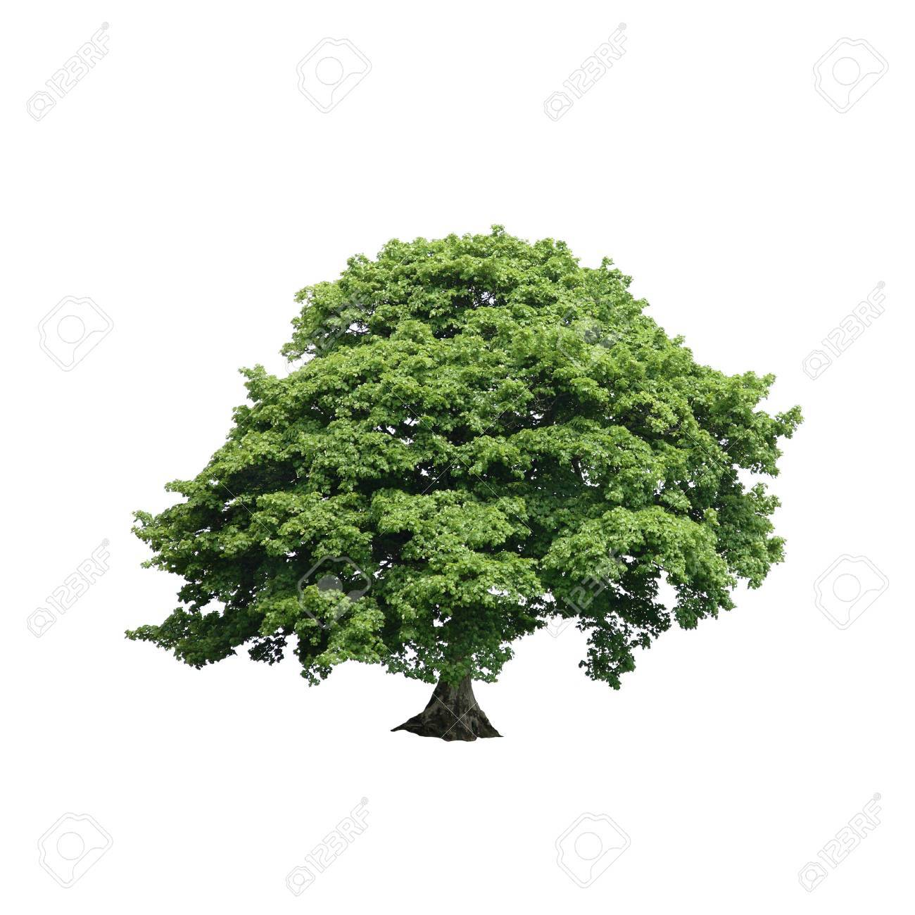 Sycamore tree in full leaf in summer set against a white background. Stock Photo - 3658030