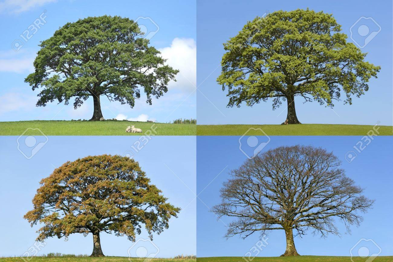 Oak tree summer