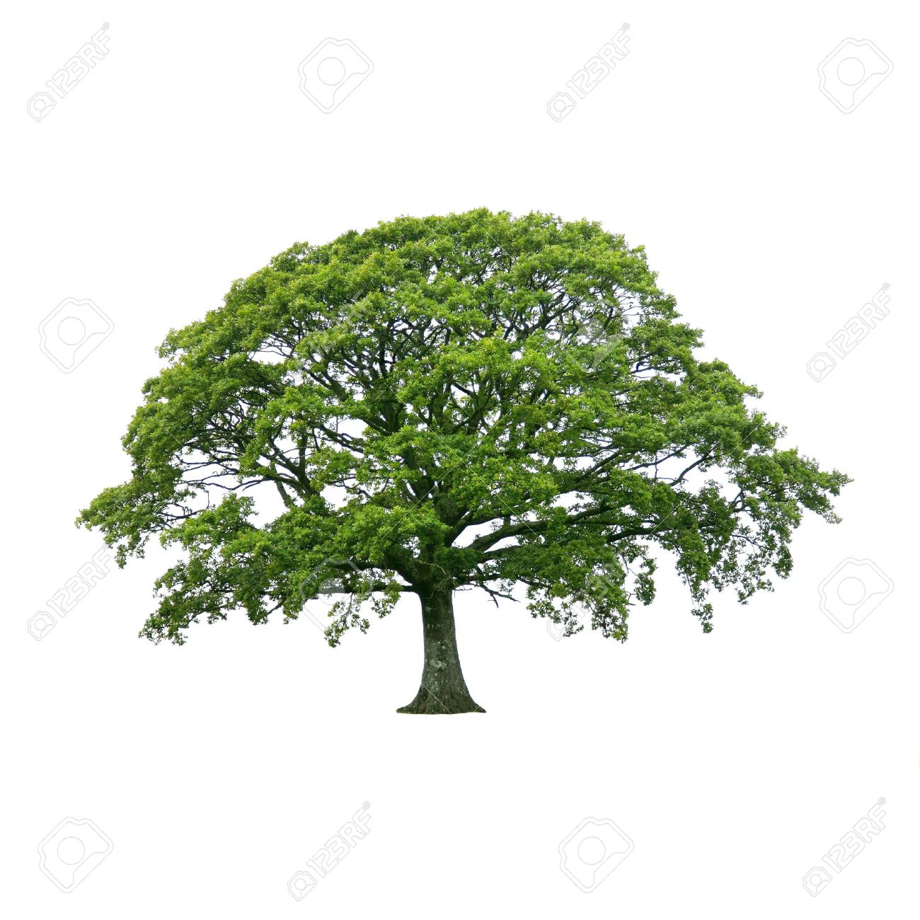 Oak tree in full leaf in summer, isolated over white background. Stock Photo - 5254384