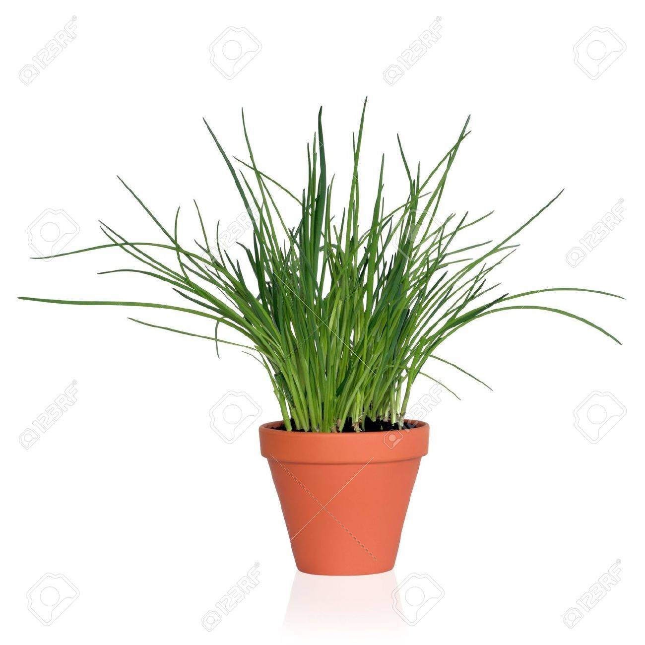 Image of: Chive Herb Plant Growing In A Terracotta Pot Isolated Over Stock Photo Picture And Royalty Free Image Image 6623135