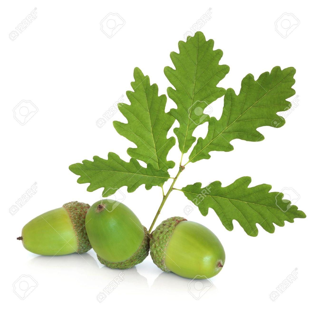 Acorn group with oak leaf, isolated over white background. Stock Photo - 7903187