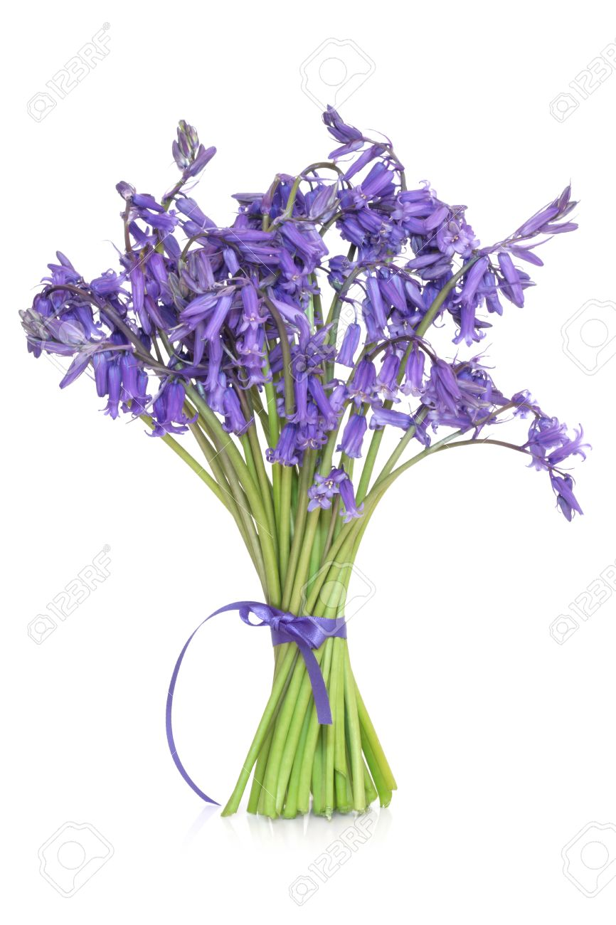 Bluebell flowers tied in a bunch with ribbon isolated over stock bluebell flowers tied in a bunch with ribbon isolated over white background stock photo mightylinksfo