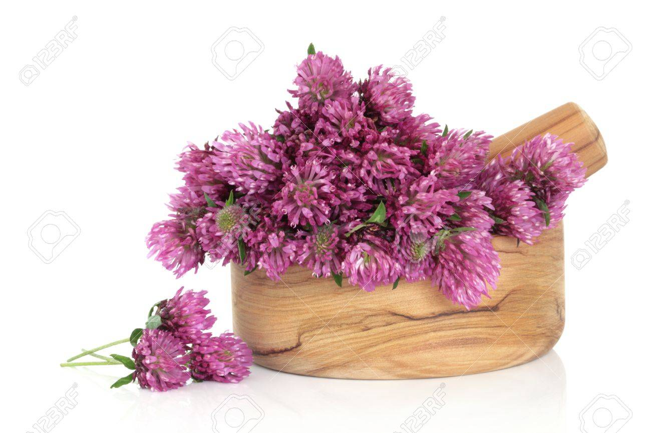 Red clover herb flower blossom arrangement in an olive wood mortar with pestle, and scattered, isolated over white background. Trifolium pratense. Stock Photo - 9945458