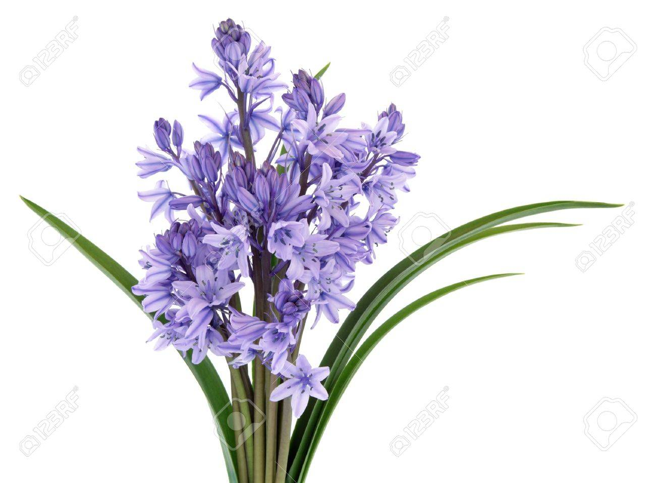 Bluebell wild flowers isolated over white background stock photo bluebell wild flowers isolated over white background stock photo 12420316 dhlflorist Image collections