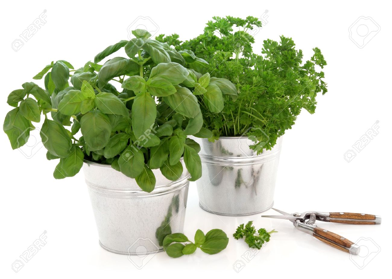 Herb pots for kitchen - Basil And Parsley Kitchen Herb Plants Growing In Aluminium Pots With Secateurs And Leaf Sprigs Over