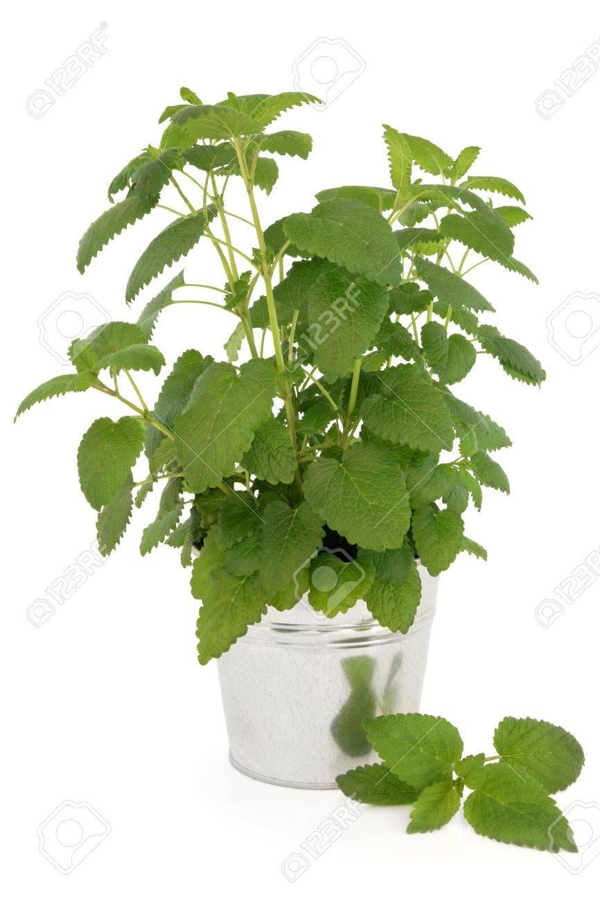 Banque Du0027images   Usine De Citronnelle Dans Un Pot En Aluminium Sur Fond  Blanc Melissa Officinalis, Peut être Utilisé Comme Un Anti Moustique