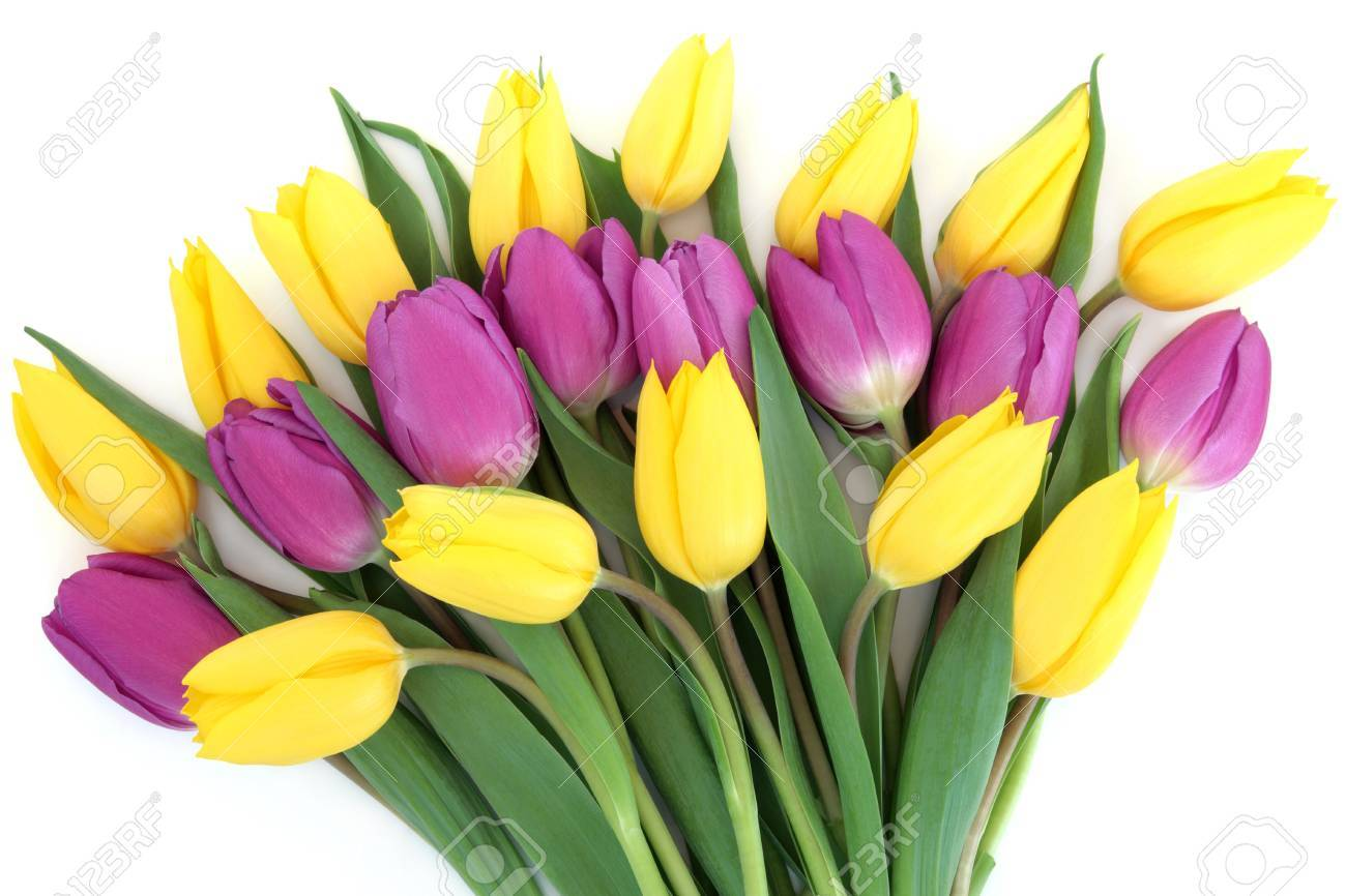 Yellow And Purple Tulip Flower Arrangement Over White Background