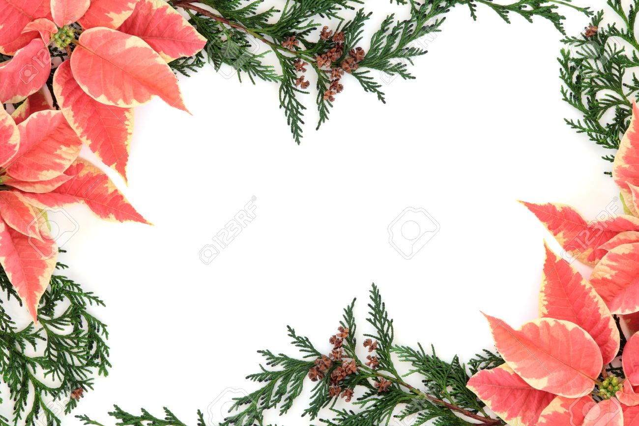 pink and white poinsettia stock photos u0026 pictures royalty free