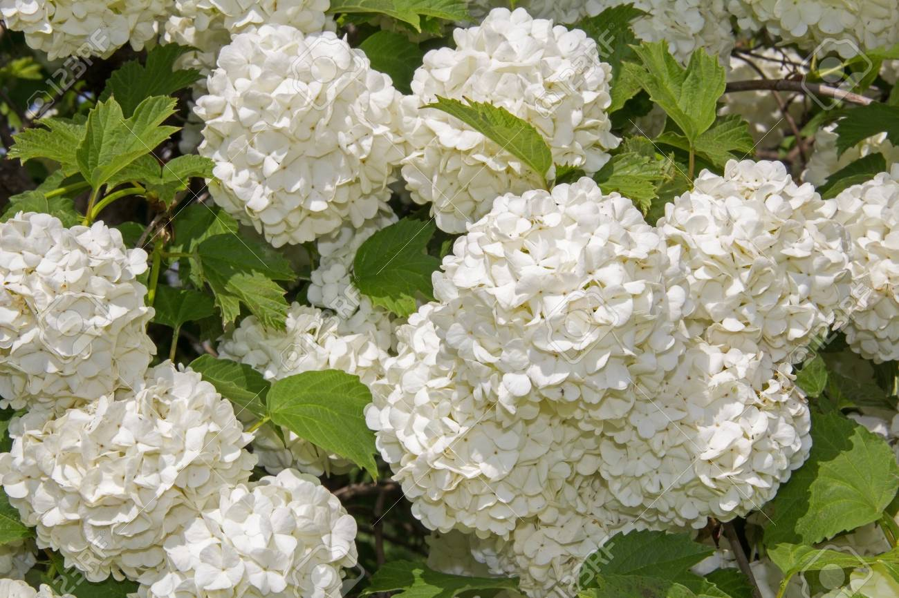 White flower of the snowball viburnum buldenezh in bloom stock stock photo white flower of the snowball viburnum buldenezh in bloom mightylinksfo