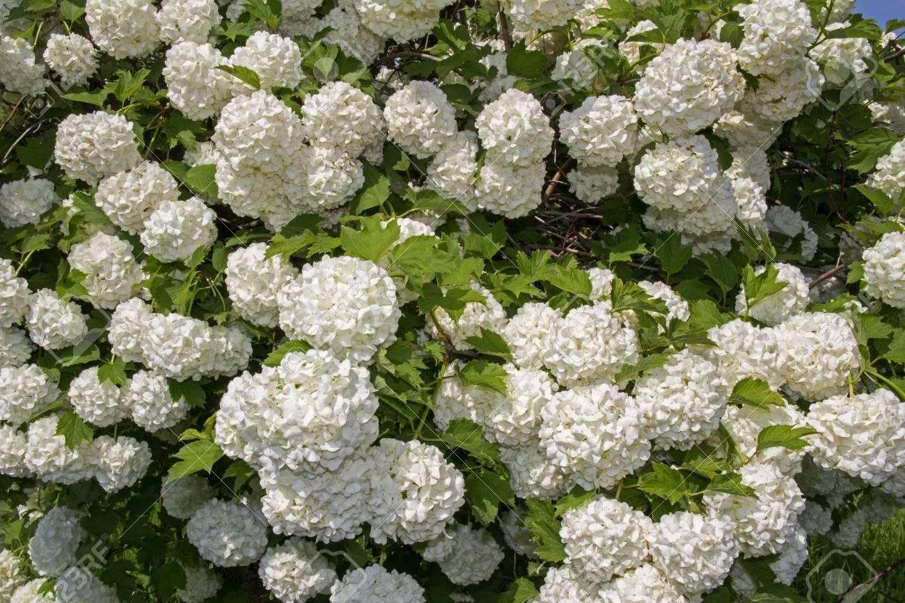 White Flower Of The Snowball Viburnum Buldenezh In Bloom Stock