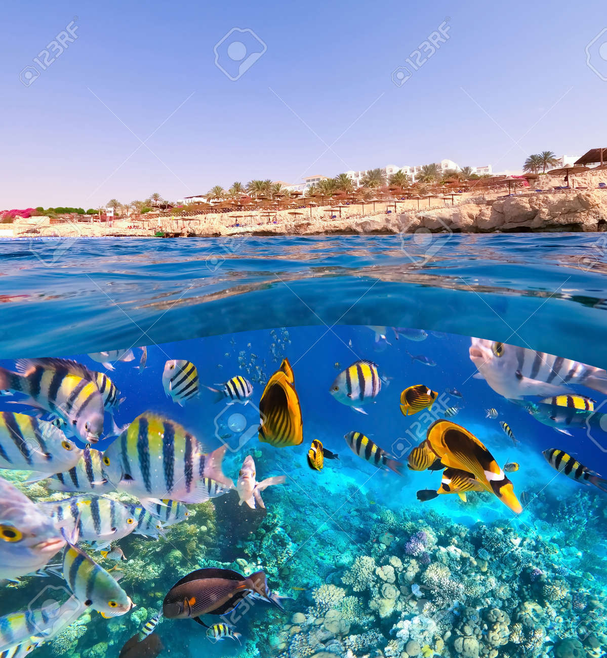 Underwater colorful tropical fishes at coral reef at Red Sea. - 156321696