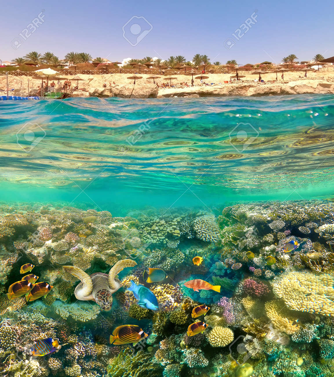 Underwater colorful tropical fishes at coral reef at Red Sea. - 156321712