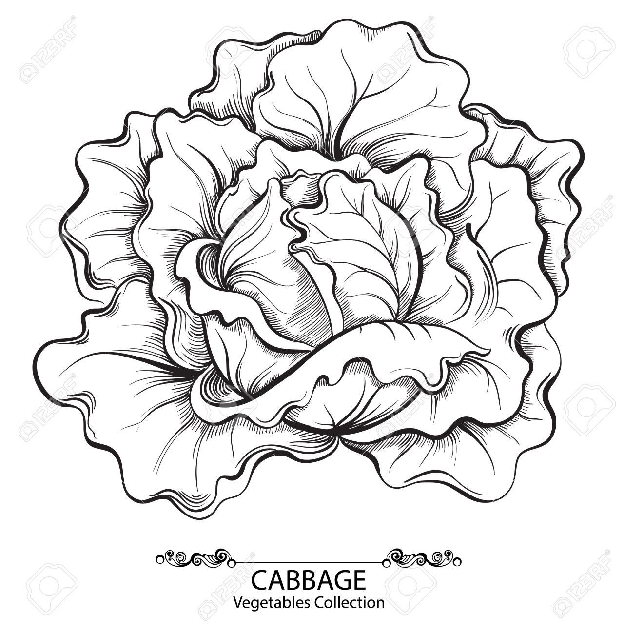 Cabbage. Vector hand drawn vegetables isolated on white background - 34923858