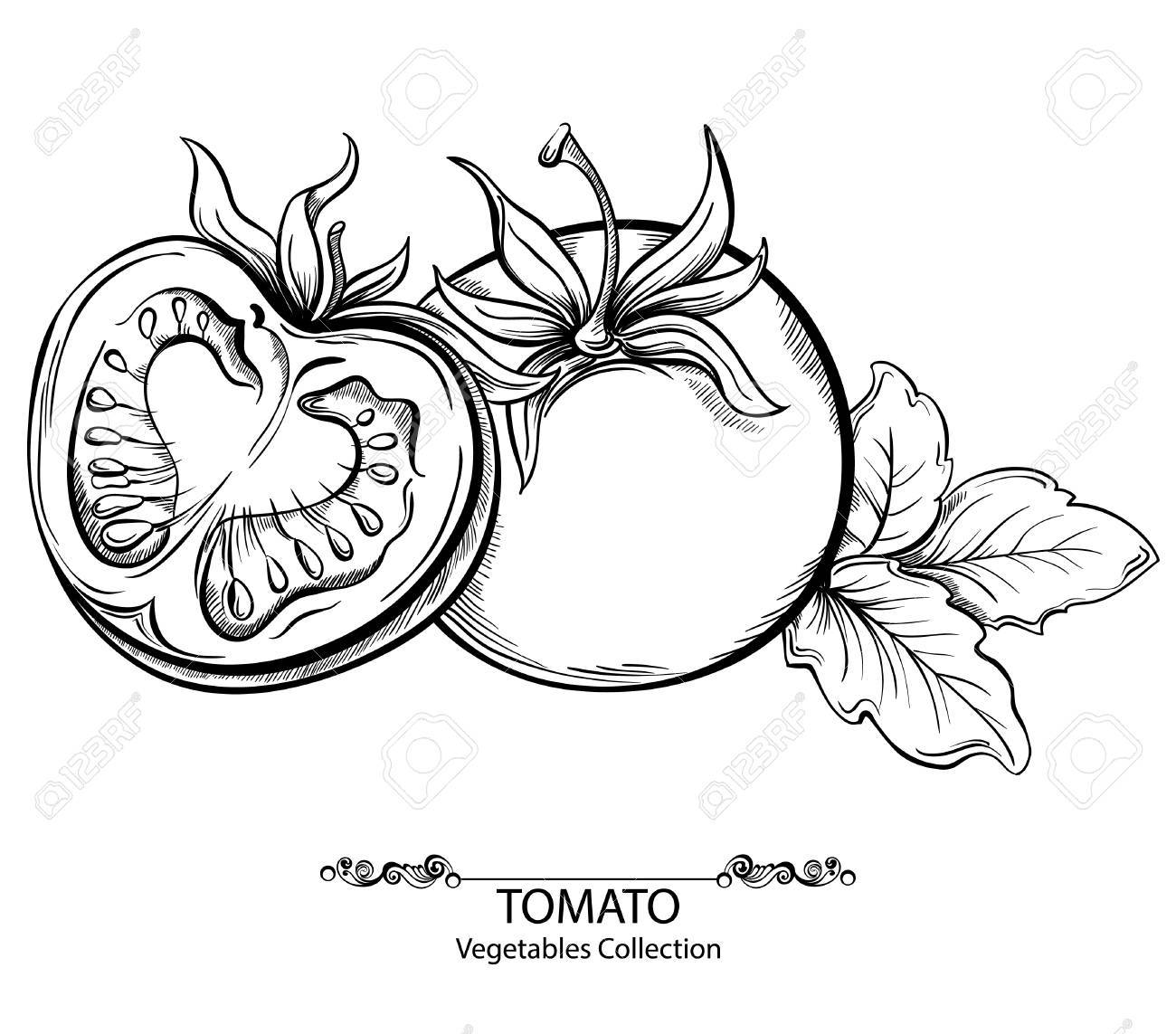 Vector hand drawing illustration of tomato isolated on white background. Collection of vegetables - 34923968