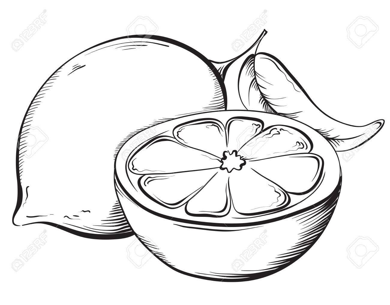 Lemon. Hand drawn fruit. Sketch Vector illustration - 40460579
