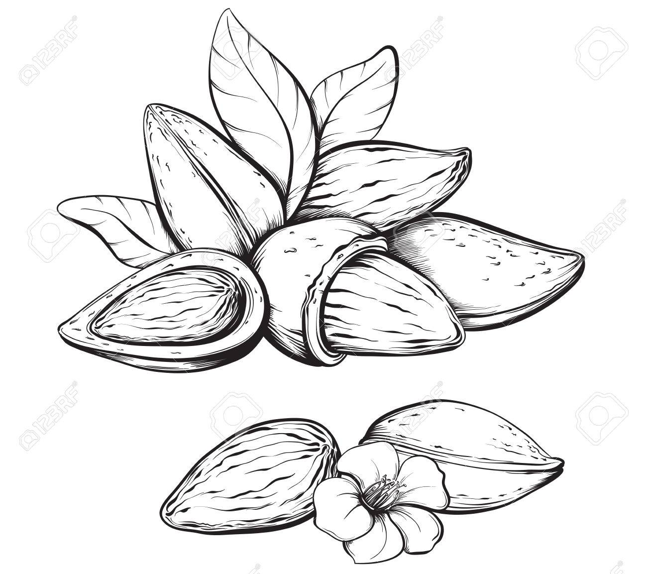 Almonds. Hand drawn sketches vector illustration on white background in vintage style. - 53584883