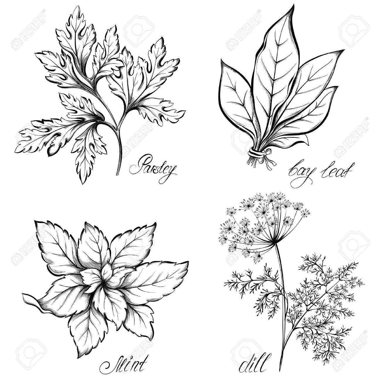 Kitchen herbs and spices. Dill, parsley, mint and bay leaf. Hand drawn vector illustration - 53584908