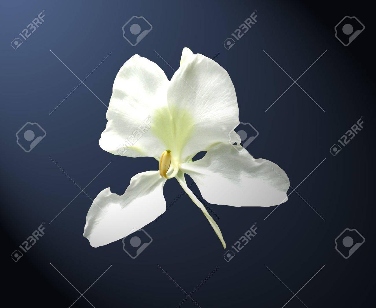 Jengibre blanco. Flor Mariposa sobre fondo azul oscuro Foto de archivo - 9018129