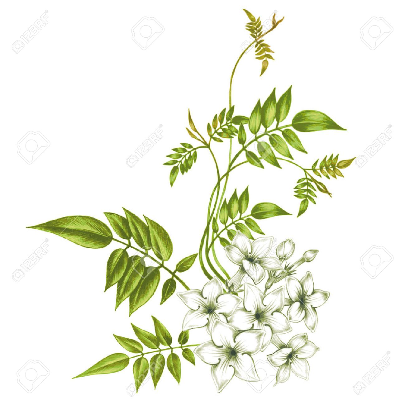 Jasmine flowers isolated on white background. Design for fabrics, textiles, paper, wallpaper, web. Vintage. - 55307055