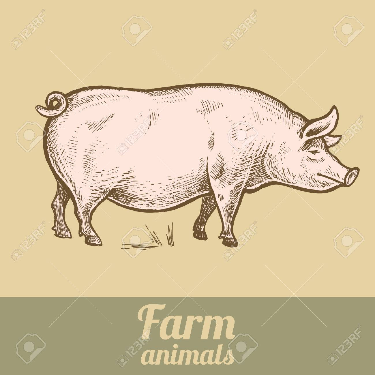 Farm Animal Pig Colored Print Style Vintage Engraving Vector Illustration Of A Series