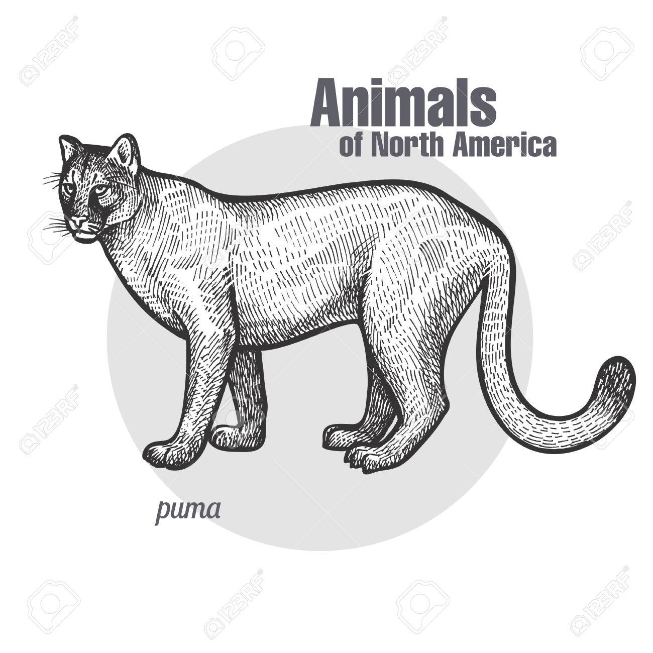 black puma north america