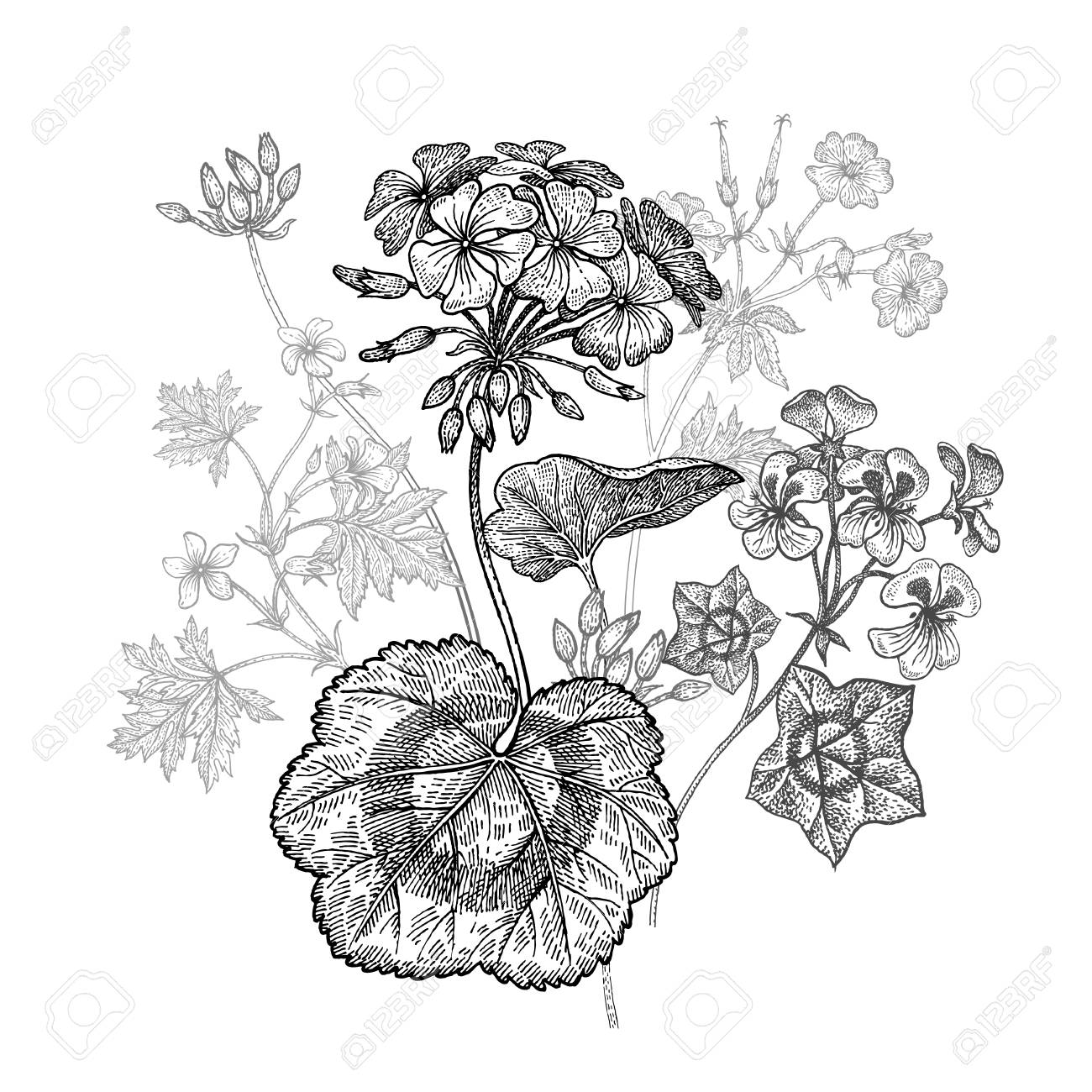 Geranium Ou Fleur De Jardin Pelargonium Bouquet Isole Sur Fond Blanc Dessin A La Main En Noir Et Blanc Illustration Vectorielle Art Gravure