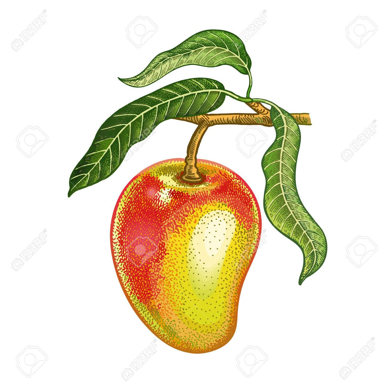 Mango Realistic Hand Drawing Made With Colored Pencils Vector Royalty Free Cliparts Vectors And Stock Illustration Image 82526285
