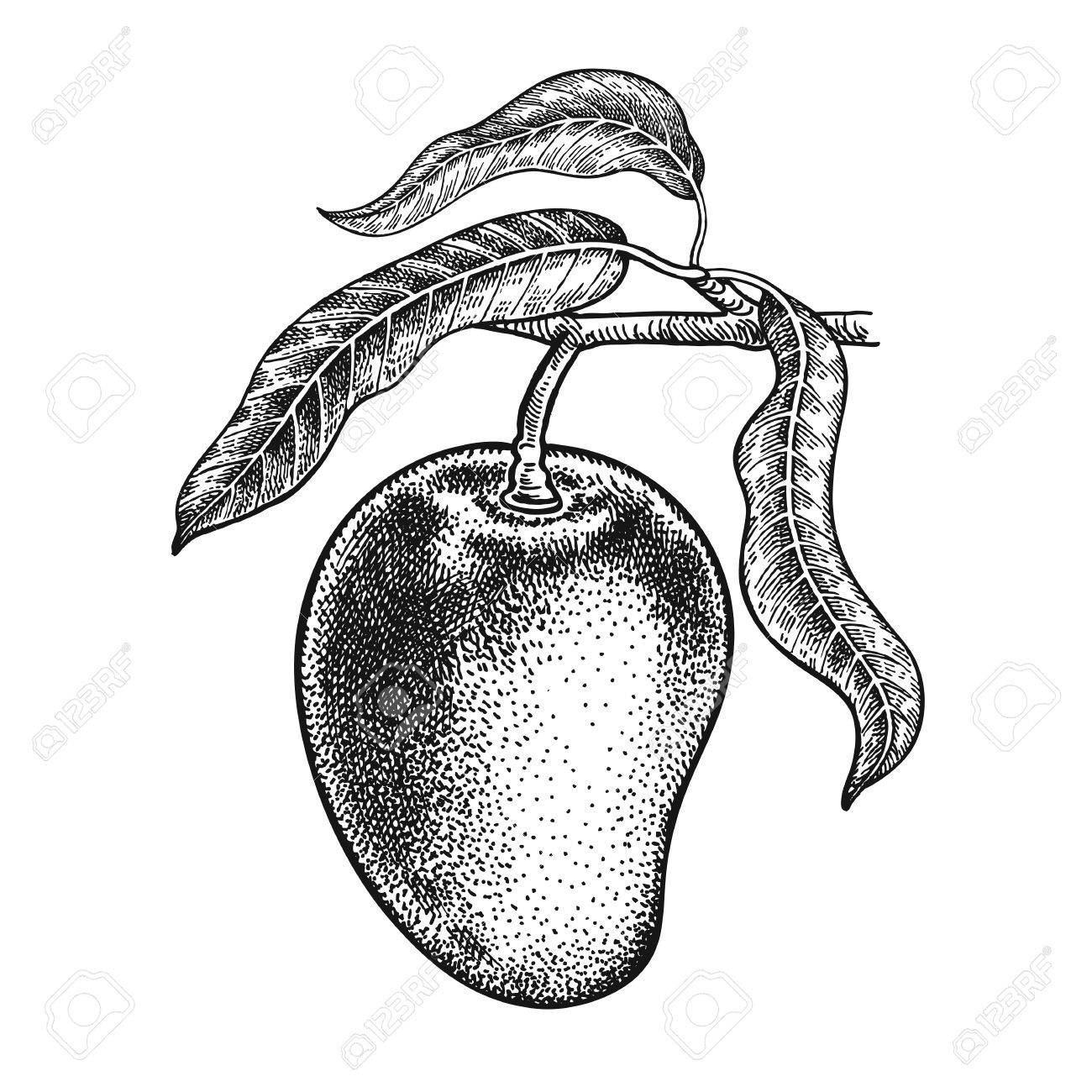 Vintage Black And White Engraving Mango Realistic Vector Illustration Plant Hand Drawing Fruit Leaf Branch Isolated On