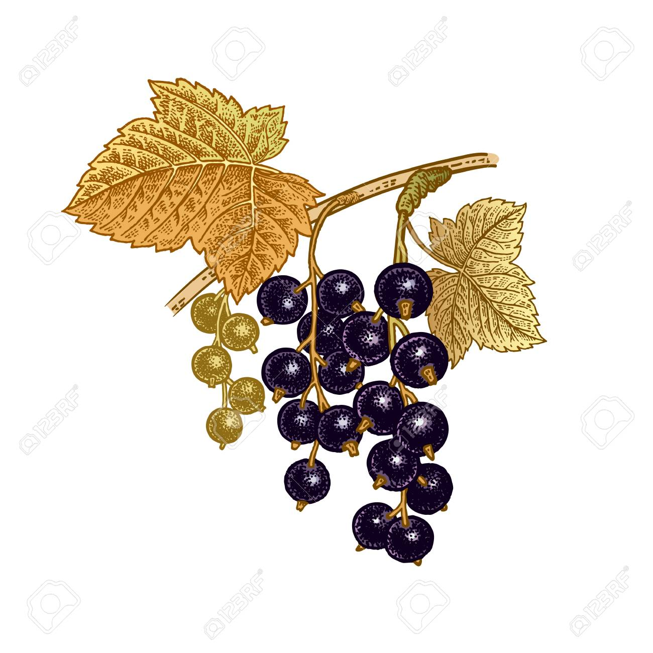 Black currant berries. Realistic color vector illustration plant. Hand drawing. Fruit, leaf, branch isolated on white background. Decoration products for health and beauty. Vintage. - 91010142