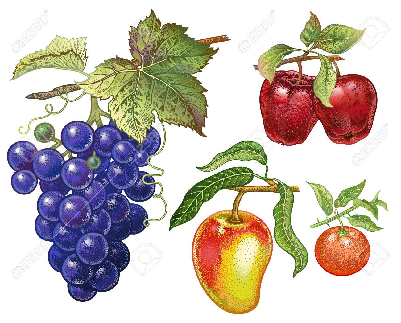 Dessin Avec La Main ensemble de baies et de fruits. dessin à la main réaliste avec des crayons  de couleur. raisins, pomme rouge, mandarine, mangue isolé sur fond blanc.