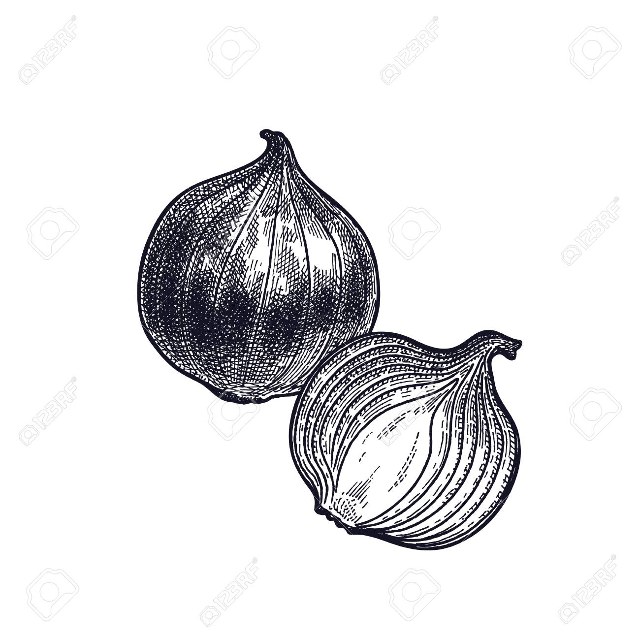 Bulb onions plant isolated vegetarian food for design menu vegetarian food for design menu recipes decoration kitchen forumfinder Choice Image