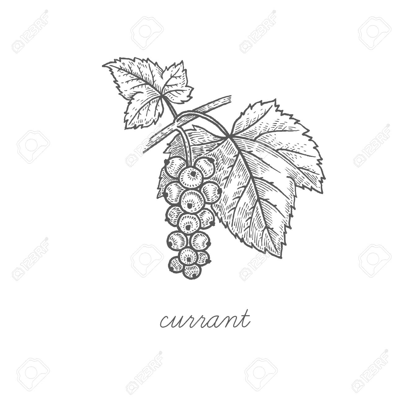 Currant. Vector plant isolated on white background. The concept of graphic image fruits, berries. Design for package of health and beauty natural products. Style Vintage engraving. Black and white. - 125197934