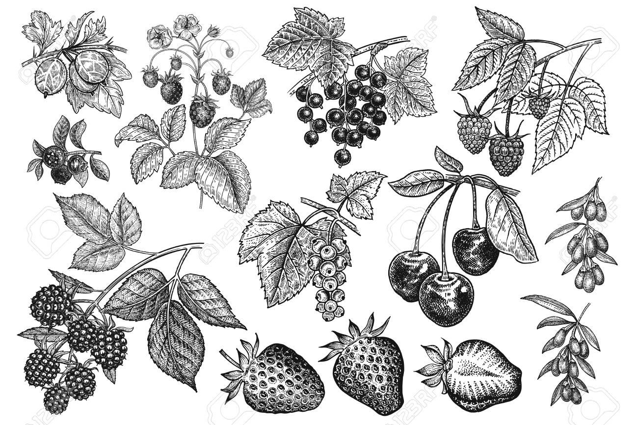 Berries big set. Realistic strawberries, cherries, raspberries, blackberries, goji, currants, blueberries, gooseberries isolated on white background. Hand drawing. Vintage. Black and white. Vector. - 124960866