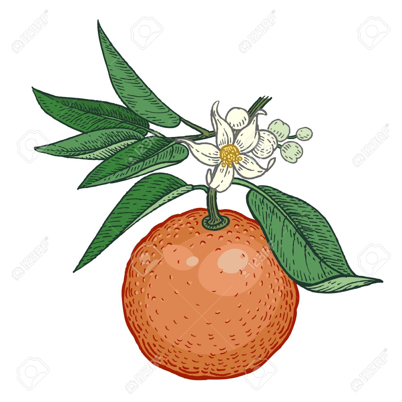 Tree Branch With Bitter Orange Fruits And Flowers Color Vector Royalty Free Cliparts Vectors And Stock Illustration Image 123592664