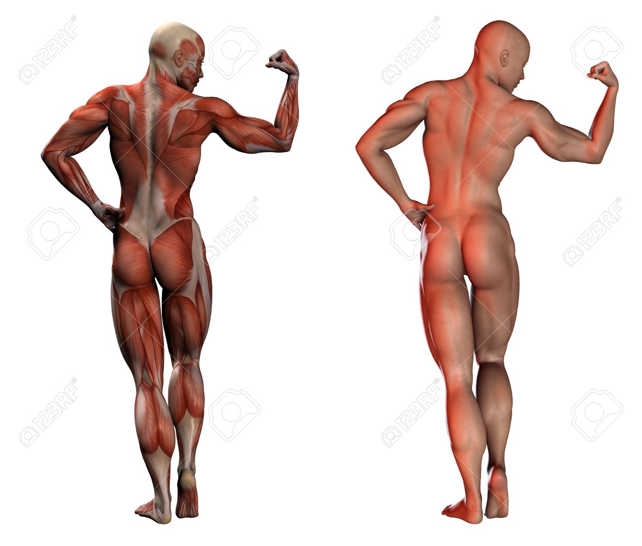 3d Image Of Human Muscles - Anatomy And Normal Stock Photo, Picture ...