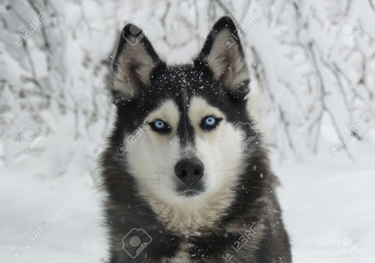 Solid Black Siberian Husky With Blue Eyes dog in the snow - Siberian