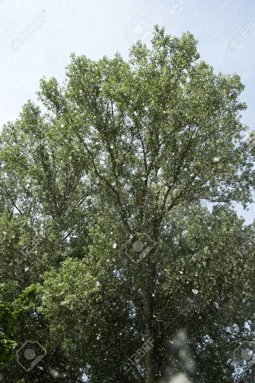 the dissemination of the poplar,the seeds dispersal Stock Photo - 13631804