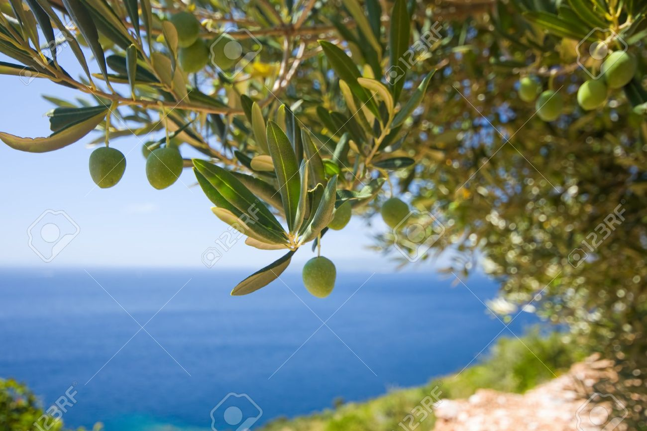 a olive tree on the sea background - 15474761