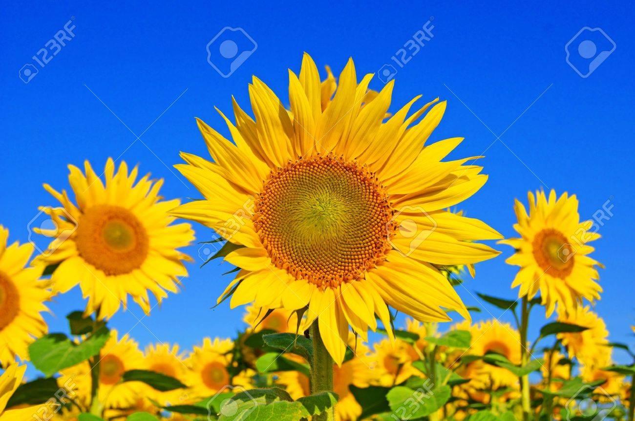 sunflower Stock Photo - 10409833