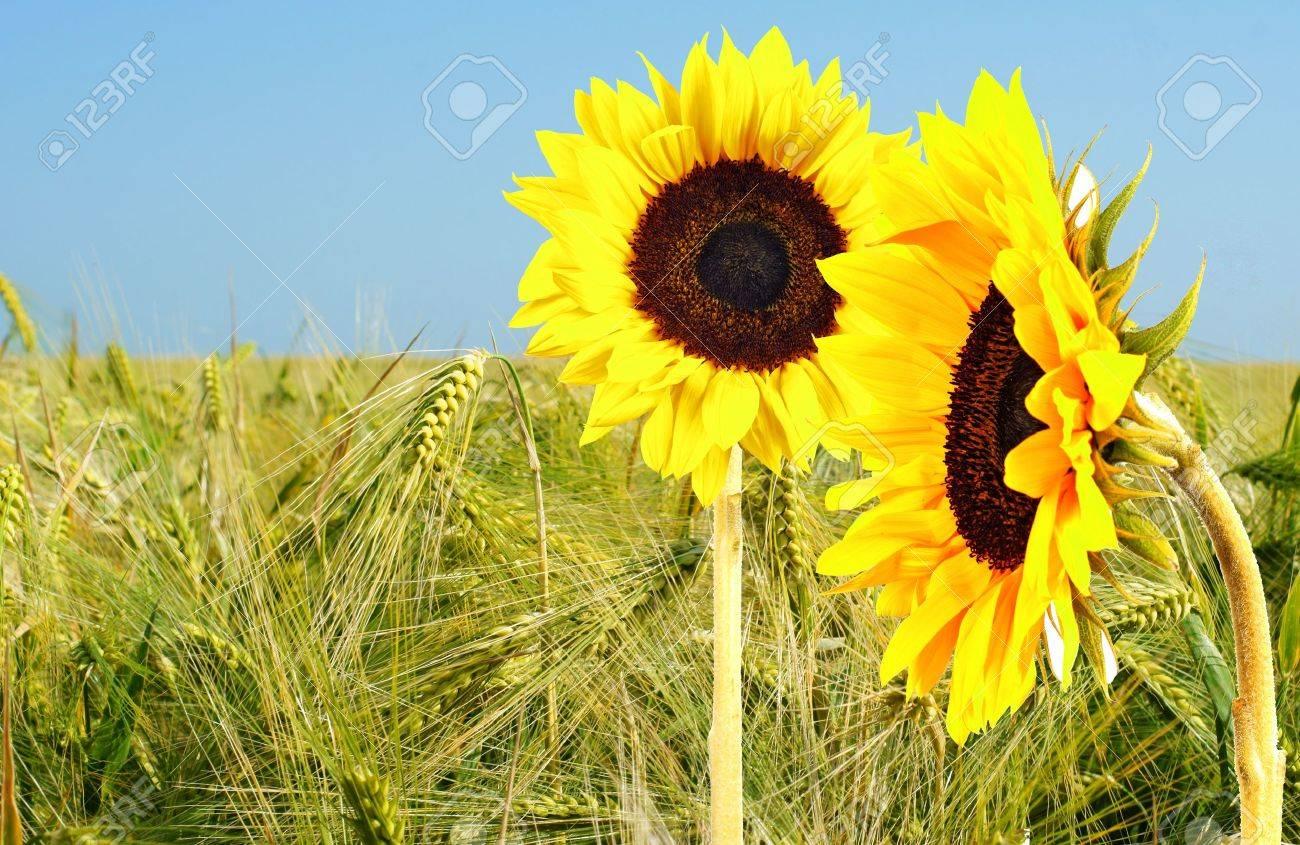 sunflower and corn Stock Photo - 10413366