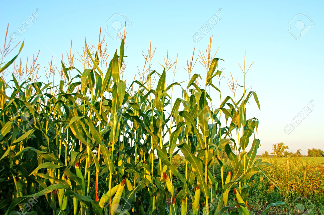 Corn Plant corn plant stock photo, picture and royalty free image. image