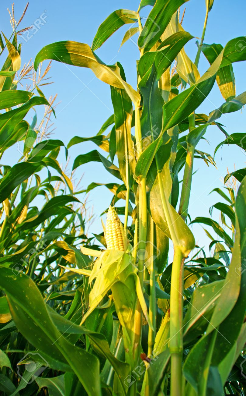 Corn Plant Stock Photo, Picture And Royalty Free Image. Image 10510636.