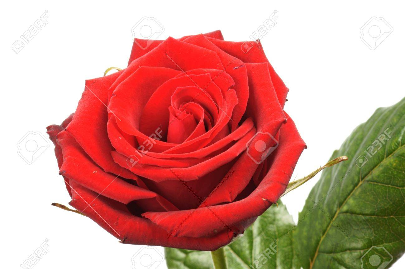 red Rose over a white background - 12669351