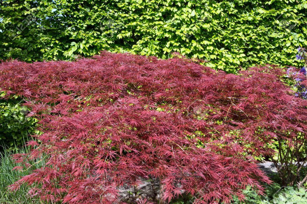 Red Maple Bush In A Garden Stock Photo Picture And Royalty Free