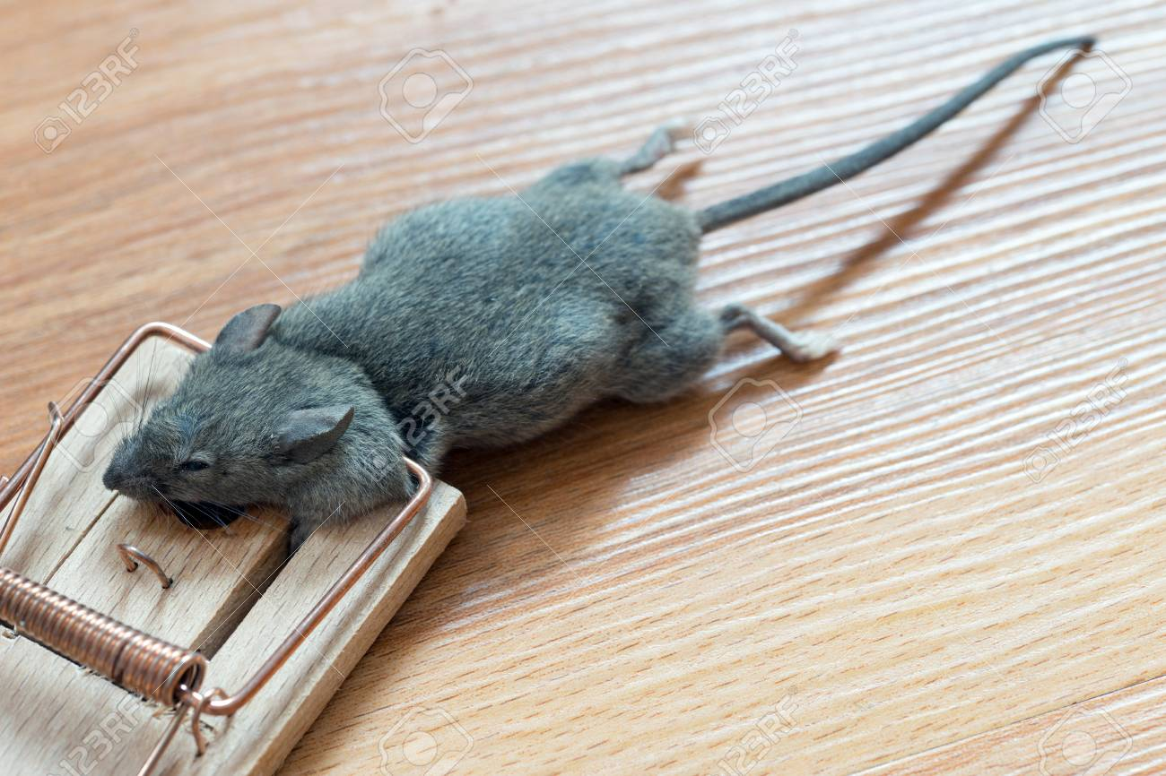 Dead Mouse In A Mousetrap Stock Photo, Picture And Royalty Free Image.  Image 84658153.